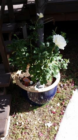 Wyatt's roses